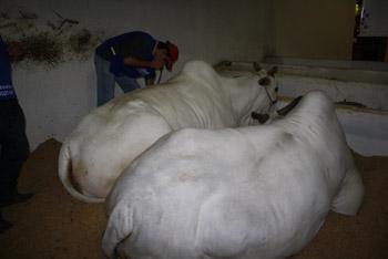 Estudantes prestam assistência veterinária a animais da Expoingá