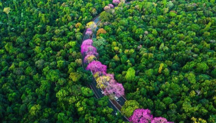 Típico do Inverno, Ipê roxo colore as ruas de Maringá