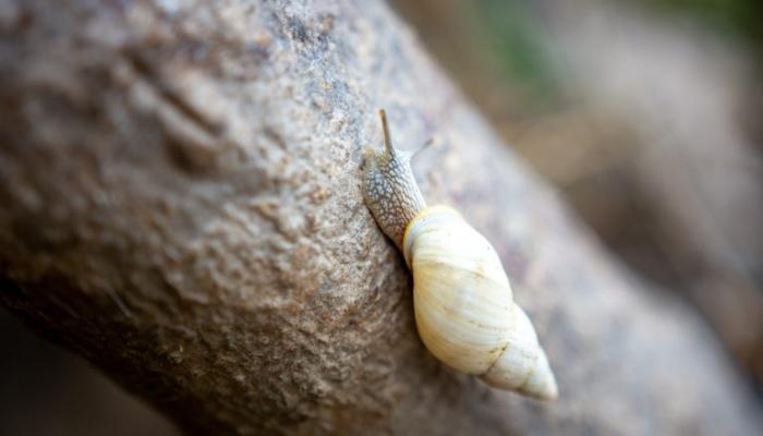 Pesquisadores descobrem espécie de caracol que só existe em arquipélago paranaense